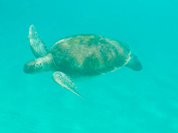 Turtle at Six Mens Bay