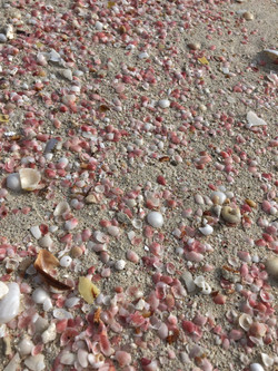 Pink Shells Litter in the Sand