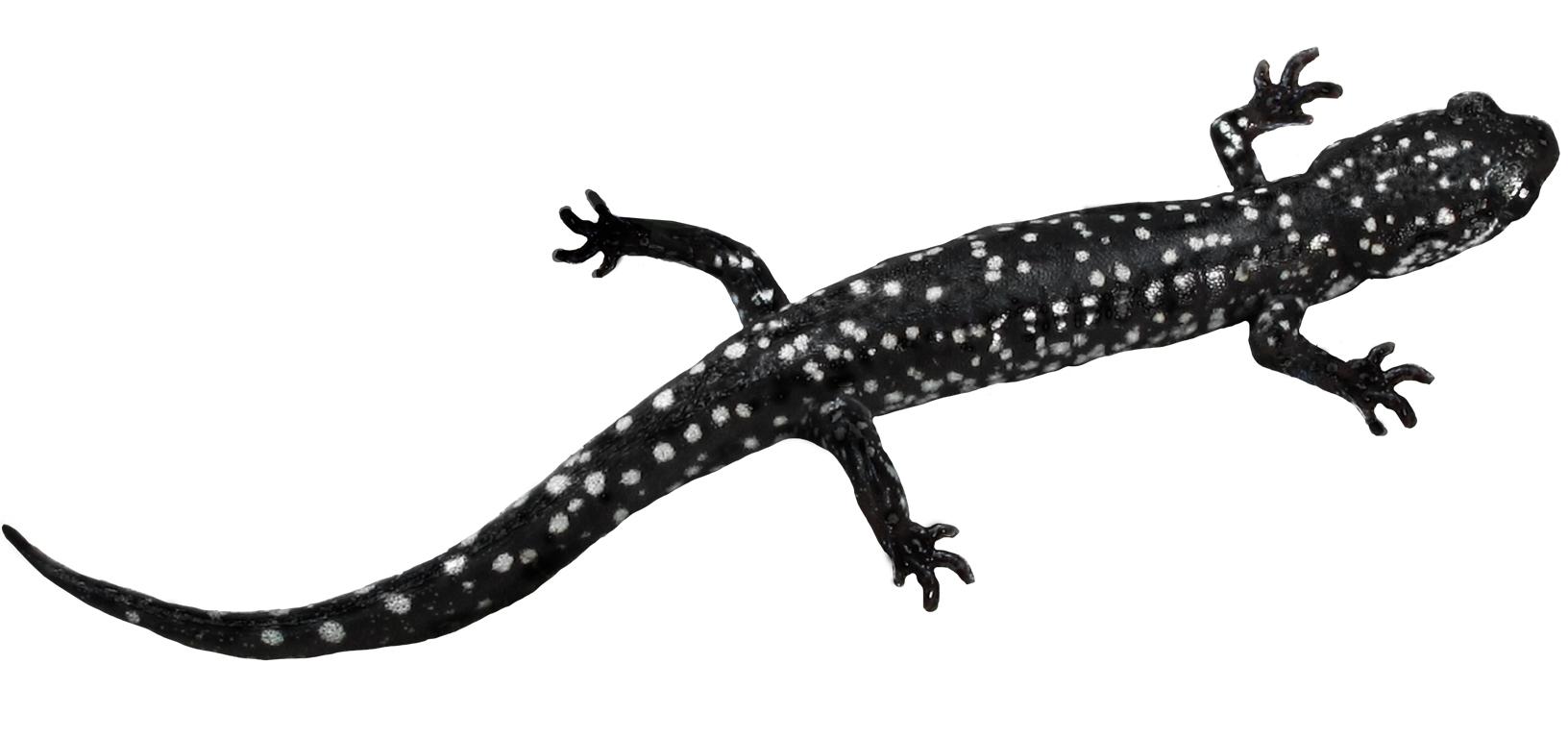 Ocmulgee Slimy Salamander