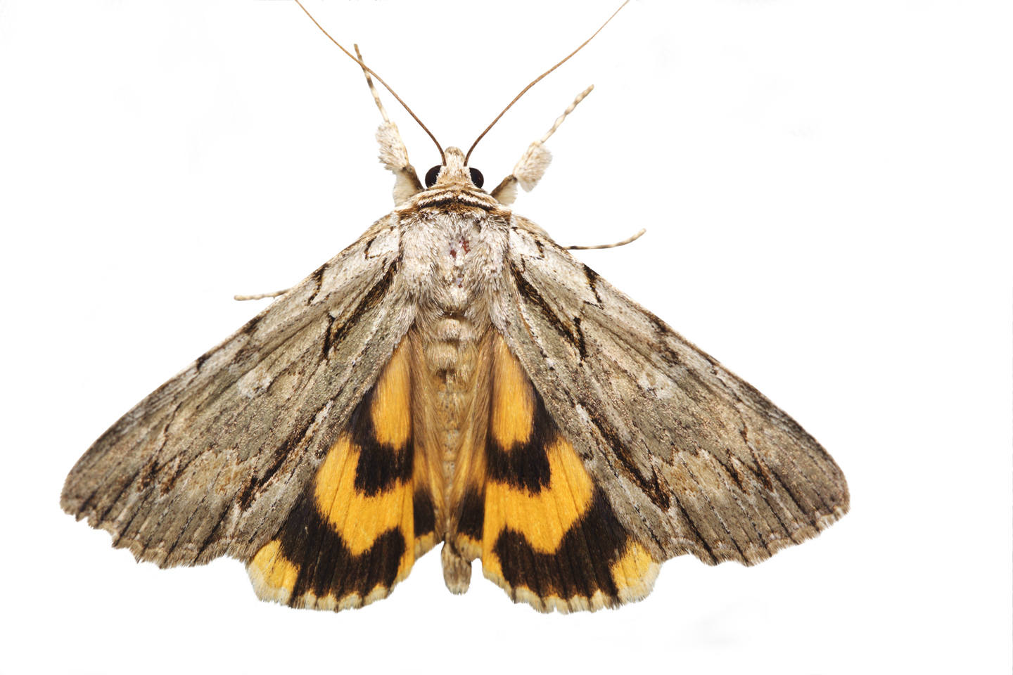 Clinton's Underwing