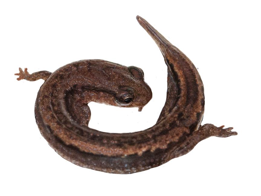 Dwarf Salamander