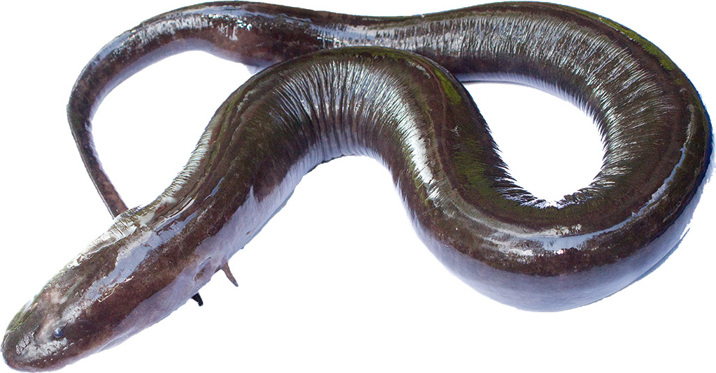 Two-toed Amphiuma