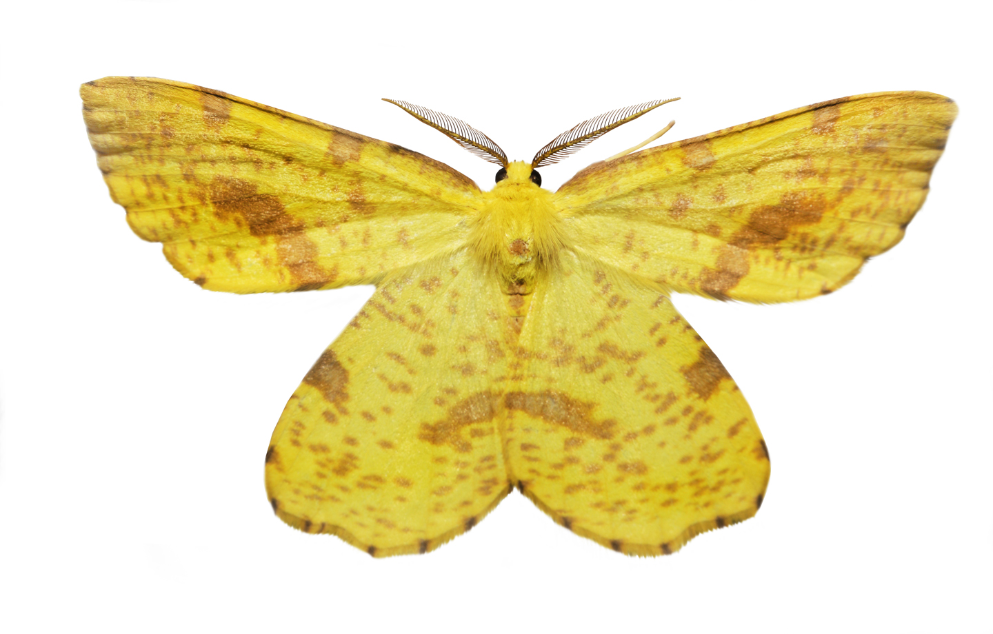 False Crocus Geometer