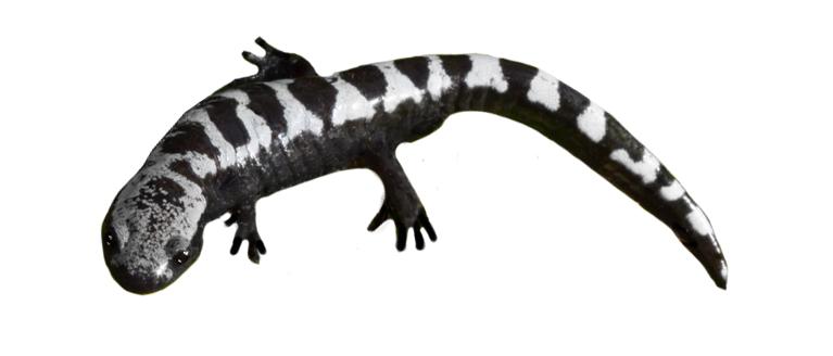Marbled Salamander