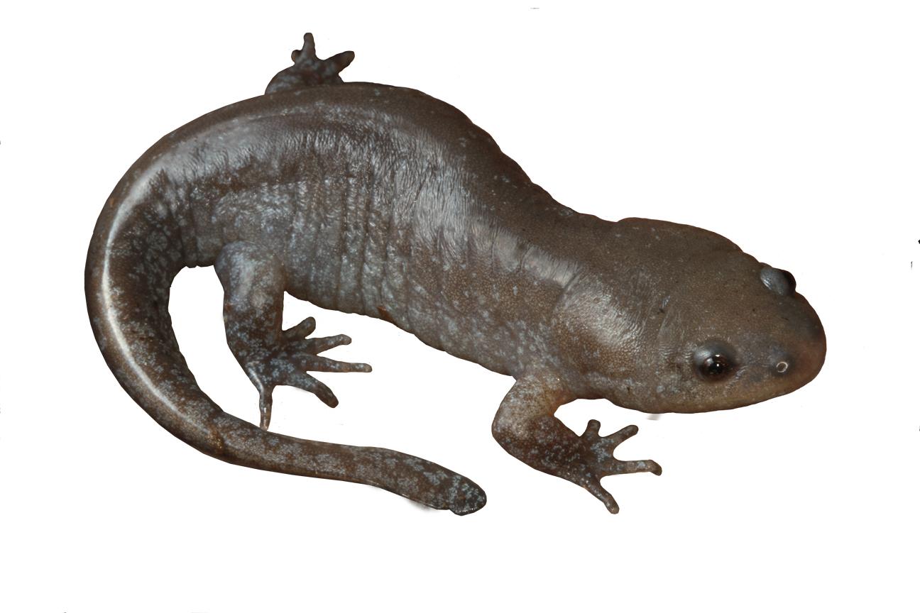 Mole Salamander