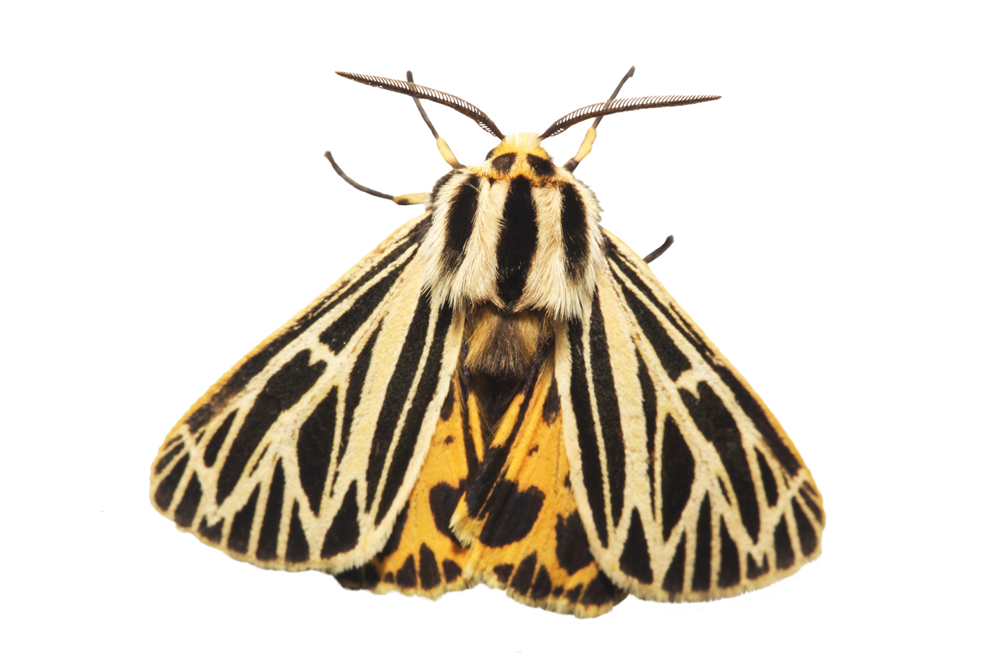 Little Virgin Tiger Moth