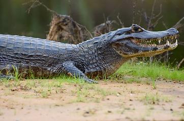 D5 - Pantanal - Safari foto 27 (Caiman).