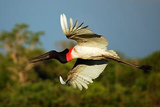 D5 - Pantanal - Safari foto 38 (Jabiru N