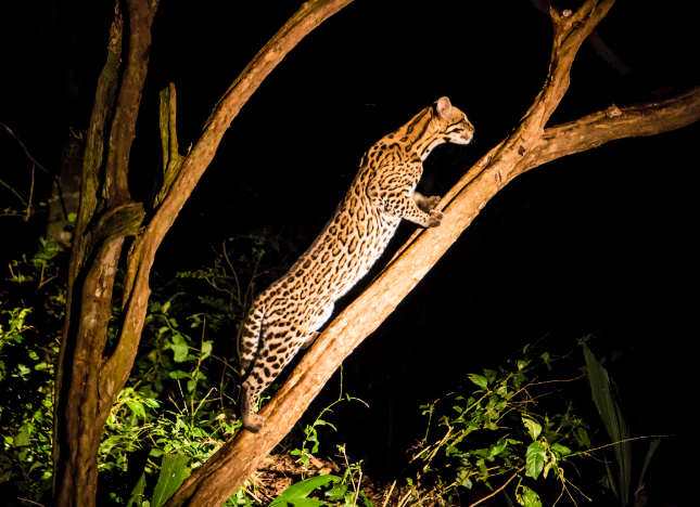 Speckled jaguar (Pantanal)