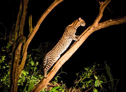 Speckled jaguar (Pantanal)