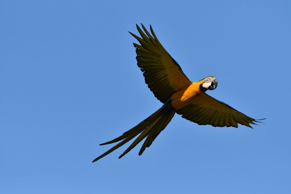 Blue and yellow macaw (Pantanal)