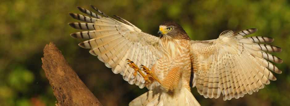 Roadside hawk (Pantanal)
