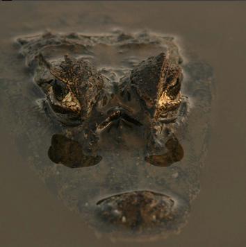 Caiman (Pantanal)