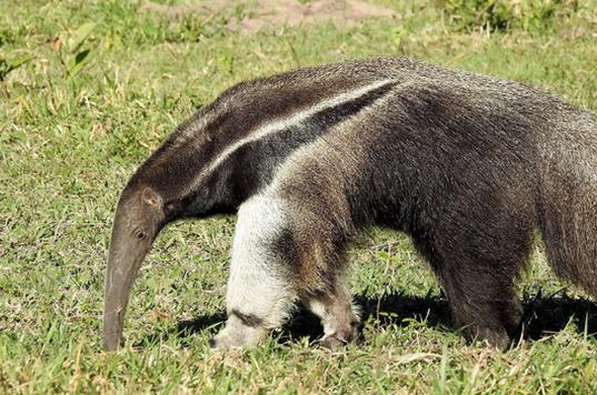 Giant anteater (Pantanal)