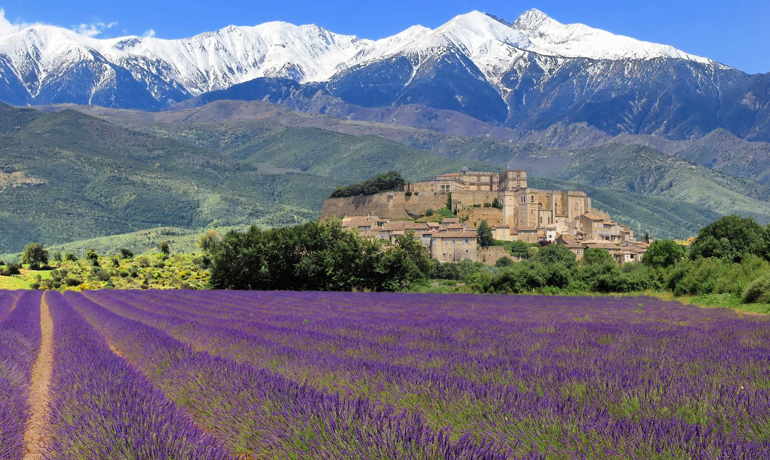 The superb lavender fields in Provence, with the last snows on the summits of the southern Alps.