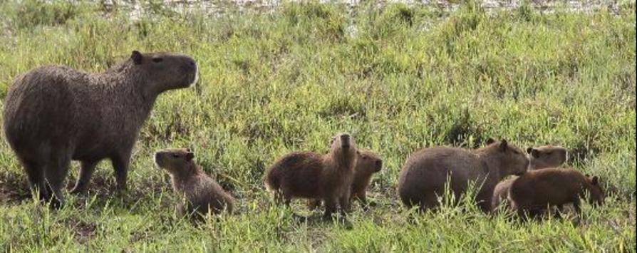 Capybara (Pantanal)