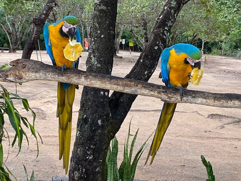 The reception at Fervedouro Bela Vista is the responsibility of a couple of macaws, not very shy and even more talkative when they are offered pineapples !
