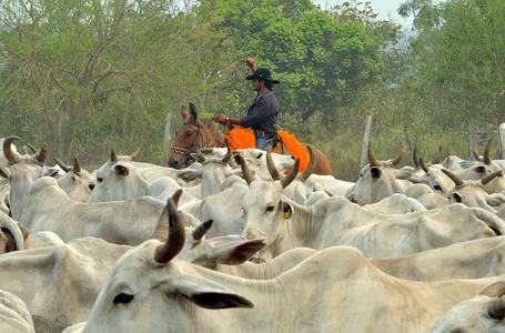 Cattle handling (Pantanal)