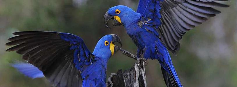 Hyacinth macaws (Pantanal)