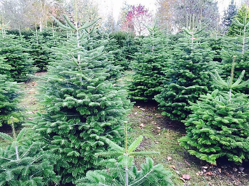 5-6ft Nordmann Fir Christmas trees