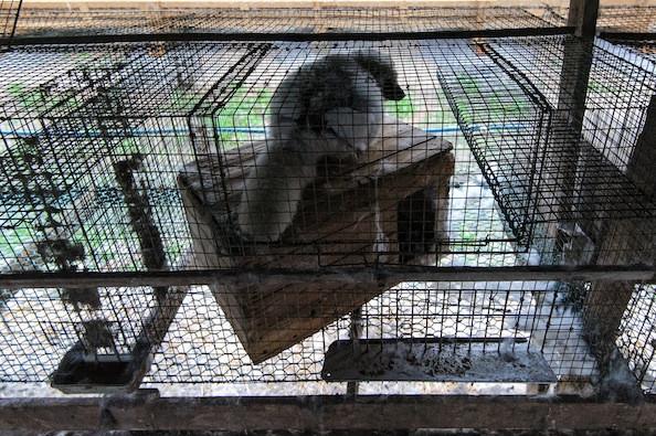 Одинокая лиса в своей маленькой клетке на лисьей ферме в Дании в 2010 году. Фото: Fur Free Alliance.