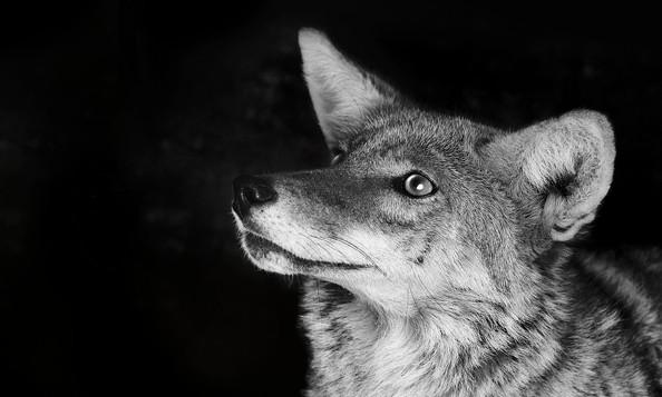 Спасенный койот в Локвудском Центре спасения животных. Фото: Jennifer MaHarry.