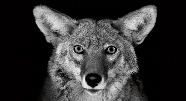 Спасенный койот в Локвуде.  Центр спасения животных. Фото: Jennifer MaHarry.