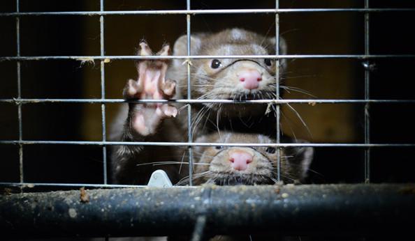 Меховая промышленность умирает: отсталая и жестокая отрасль столкнулась с сильным противодействием