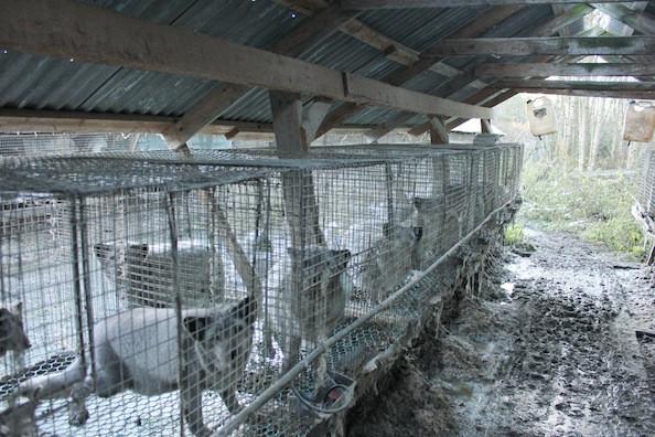 Норвежская ферма по выращиванию лисиц, 2012. Network for Animal Freedom/Norwegian Animal Protection Society.