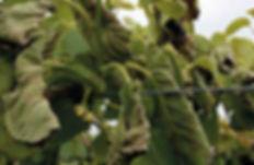 kiwifruit-image.v1.jpg