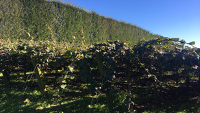 Kiwifruit Growers Aggreived By PSA Outbreak Decision