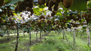 Government forks out $40m to kiwifruit industry after disease blunder