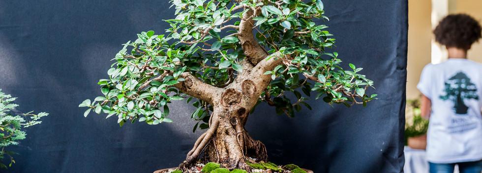 Ficus - Aliandro