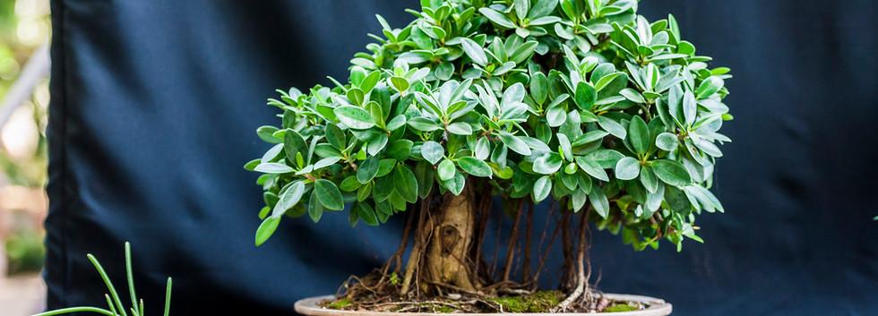 Ficus - Roosevelt