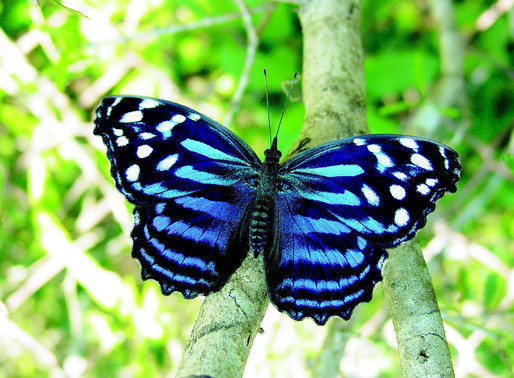 Tribeless Topics: The Butterfly Effect