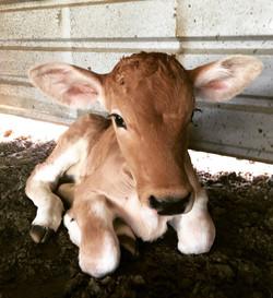 Chianina Newborn