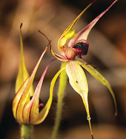 leaping_spider_orchid_adjusted.jpg