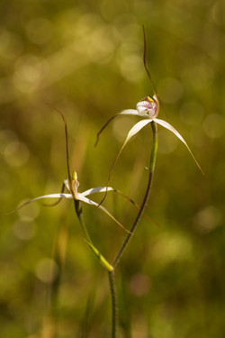 Christine's Spider Orchid