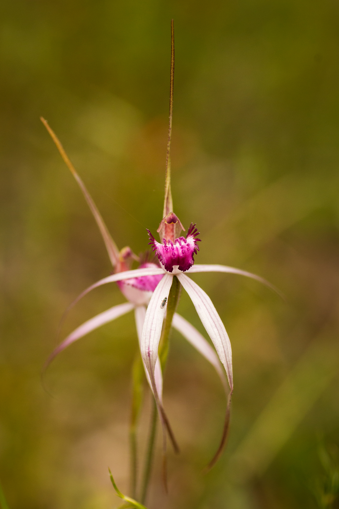 Cherry Spider Orchids