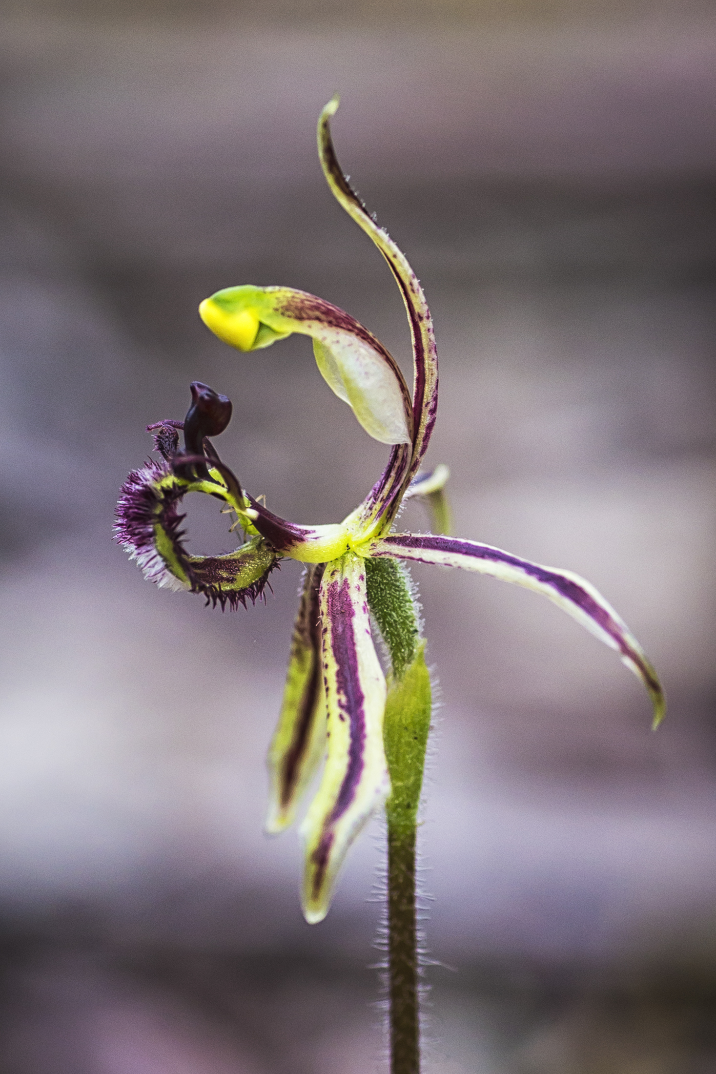 Common Dragon Orchid