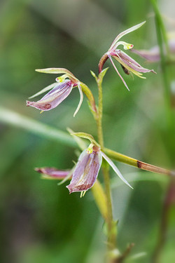 Mosquito Orchid