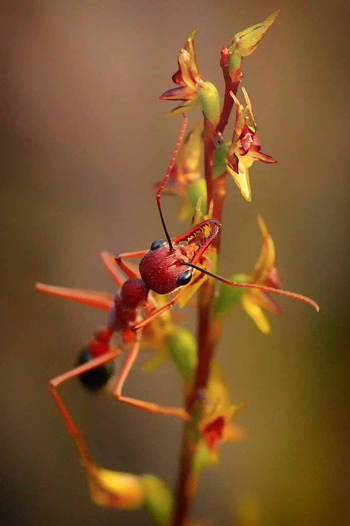 Little Laughing Leek Orchid & Bull Ant