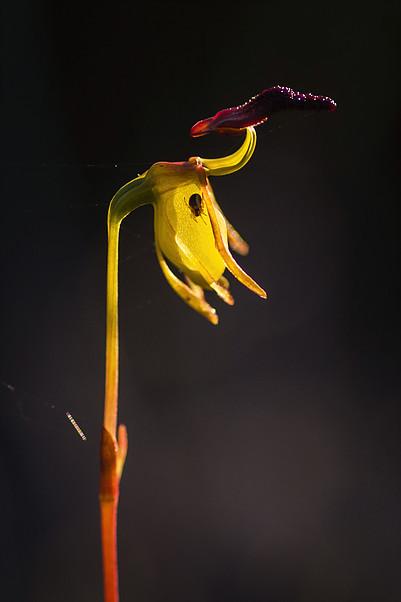 flying duck orchid.jpg