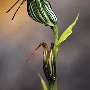 jug_orchid_adjusted.jpg