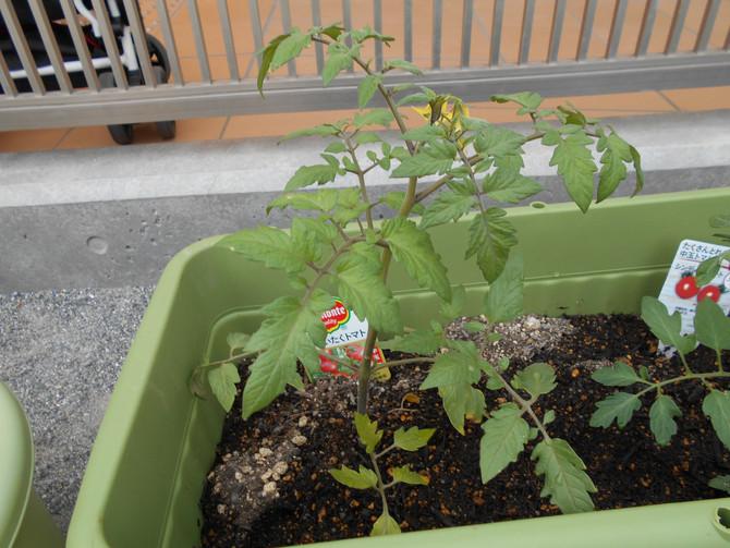 5月きりん・らいおんぐみが野菜を育てています。