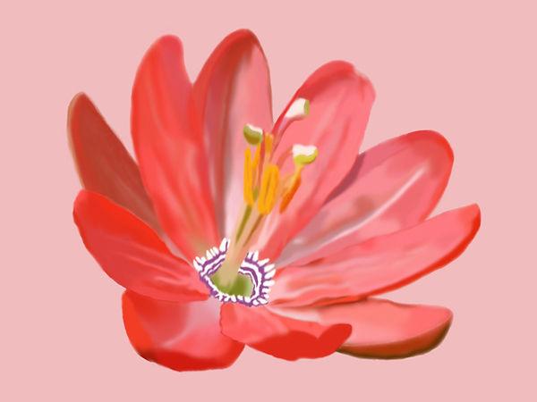 passiflora mixta.jpg