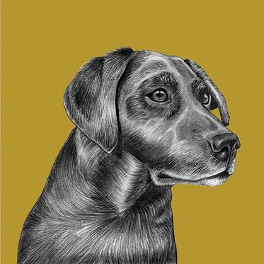 Tilly the Labrador