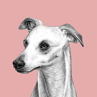 Whippet on Pink