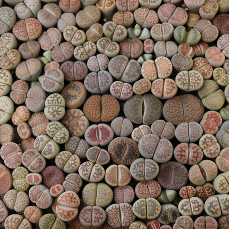 """Here's the deal with lithops """"living stones"""""""