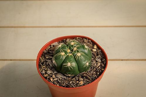 Spider Cactus - Gymnocalycium Denudatum
